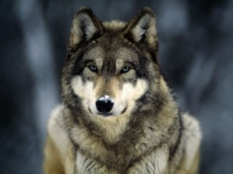 1_20_13_wolves_590x442_by_maieykio-d8ydvnx