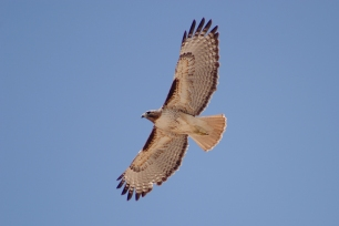 red-tailed_hawk_buteo_jamaicensis_in_flight
